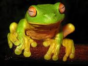 Litori Frog