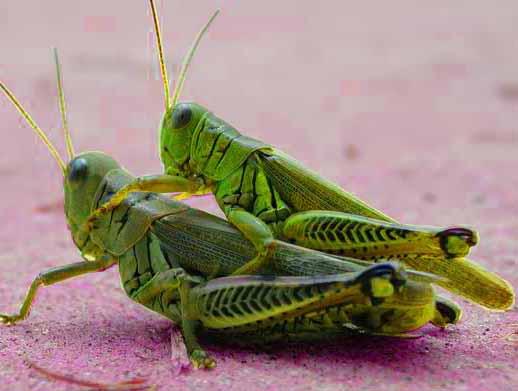grasshopper eros