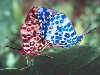 butterfly eros