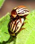 sun beetle eros